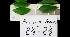 Ficus Leaf Size before