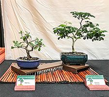 Chinese Elm Penjing