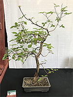 Commiphora